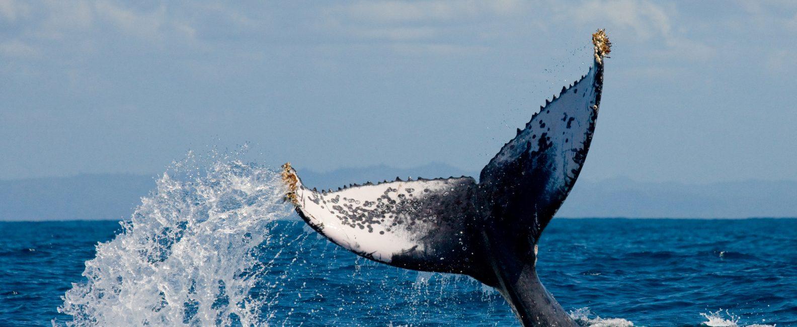 guayabitos_whale_watching